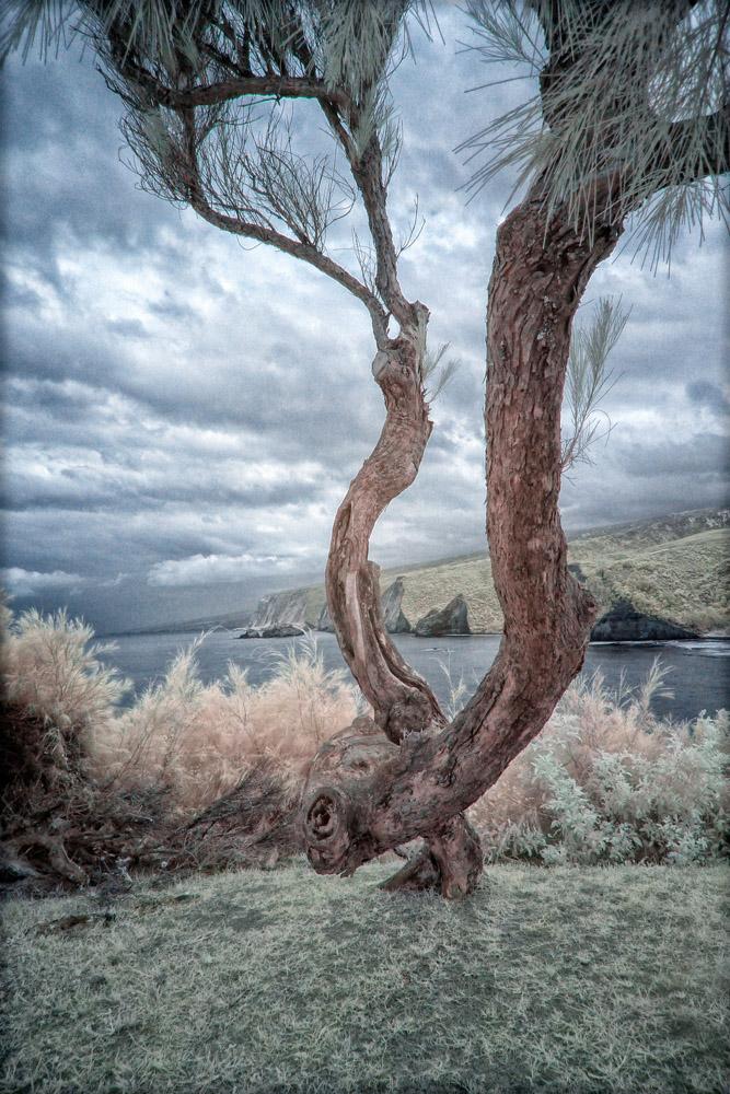 tree-and-kohala-coast-414adj
