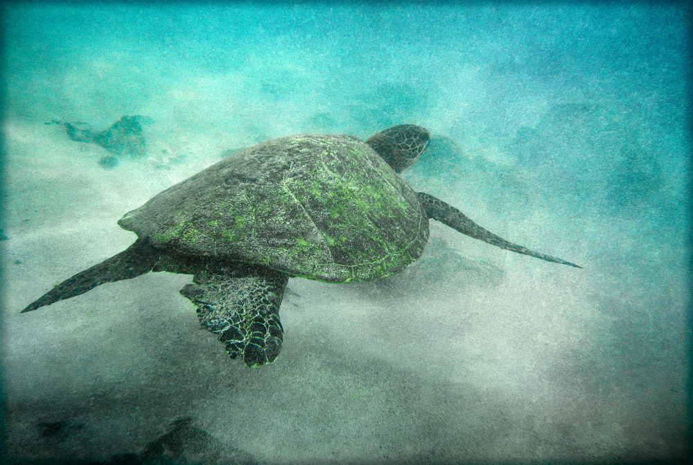 turtle-kua-bay_4748adj2